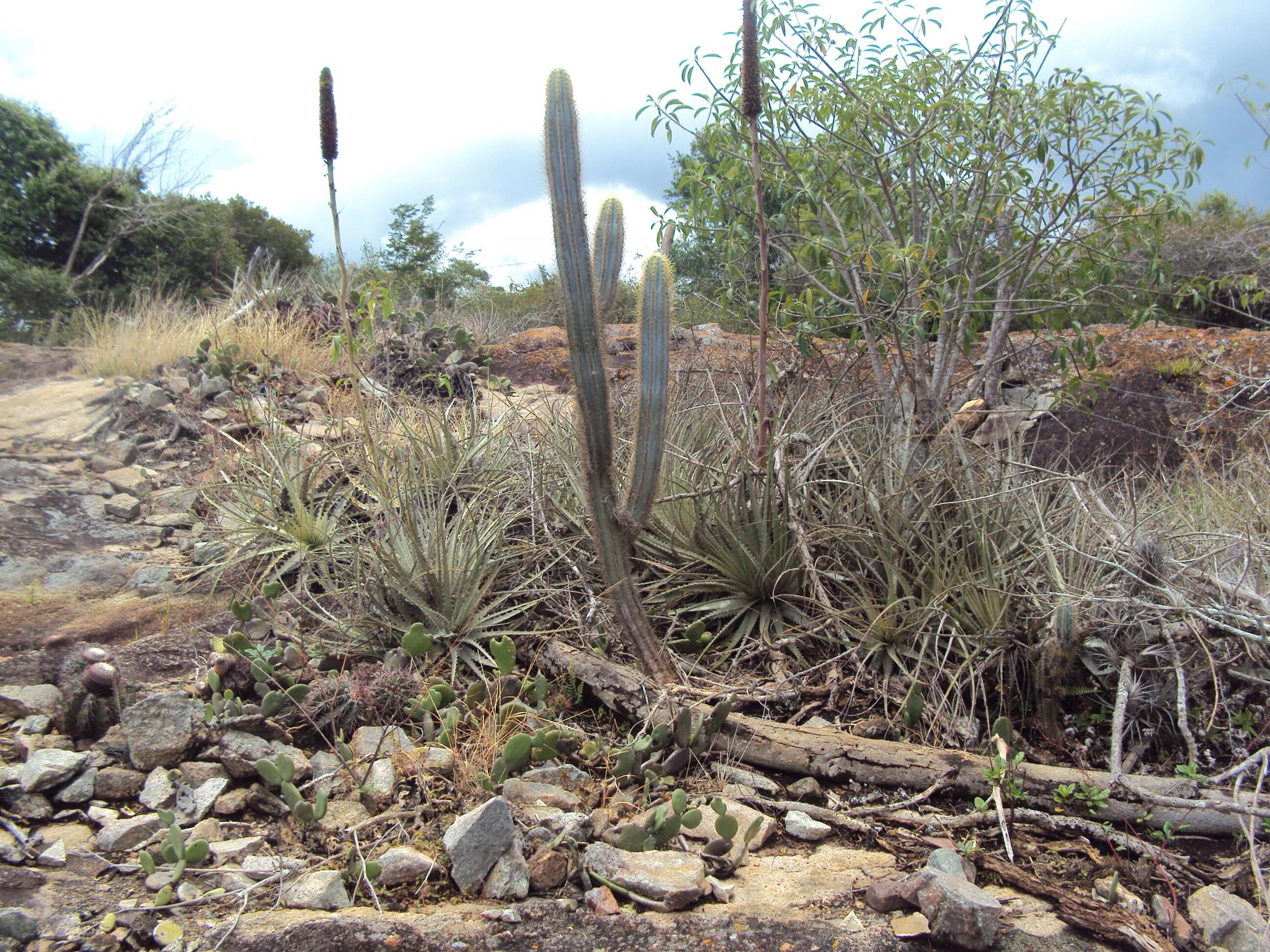 Foto de vegetação. Cactus e caroá