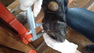 Avaliação cascos bovinos