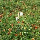 tomate irrigado