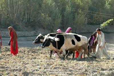"""Afeganistão Foto por <a href=""""https://pixnio.com/pt/pessoas/afeganistao-batata-agricultura-mulher-homem-animais-campos"""">USAID</a> de <a href=""""https://pixnio.com/pt/"""">Pixnio</a>"""
