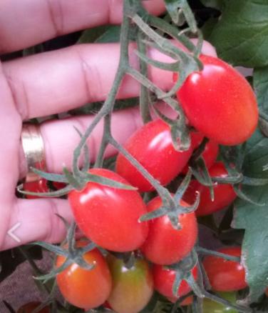 tomate tratado