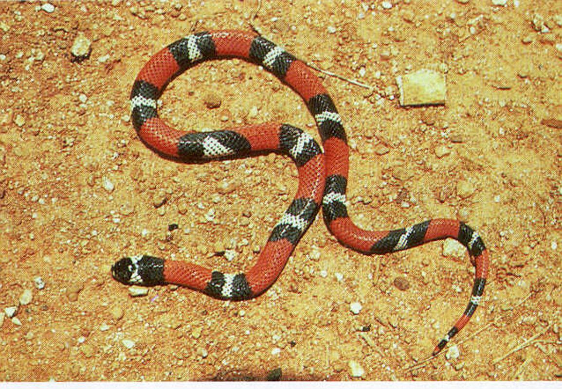 Anéis vermelhos, brancos e pretos em toda a extensão do corpo (ventre e dorso).