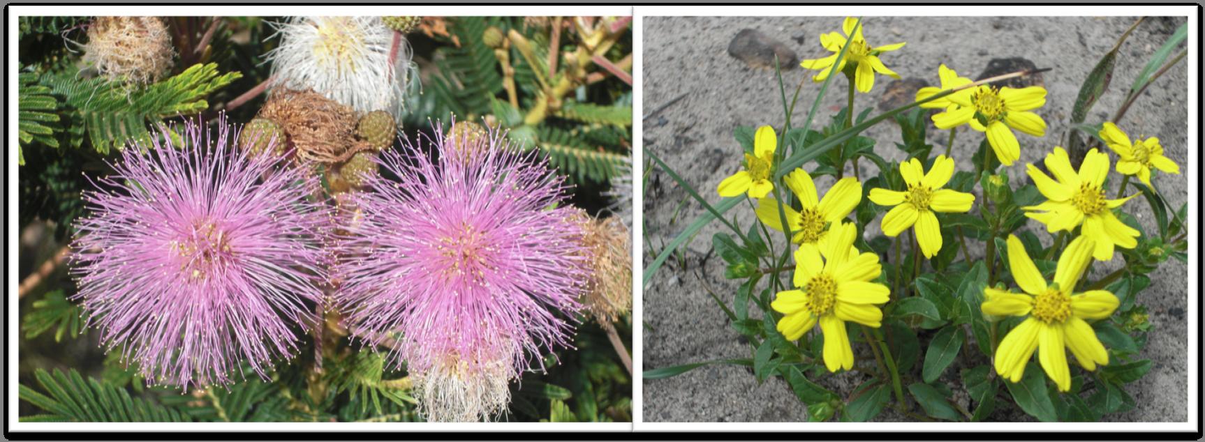 leg e asteraceae