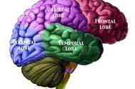 Brain-Lobes-Labelled