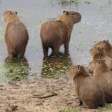 Pelos de capivaras podem ajudar a identificar a espécie