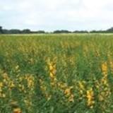 Plantas reduzem pragas e uso de herbicida em plantações