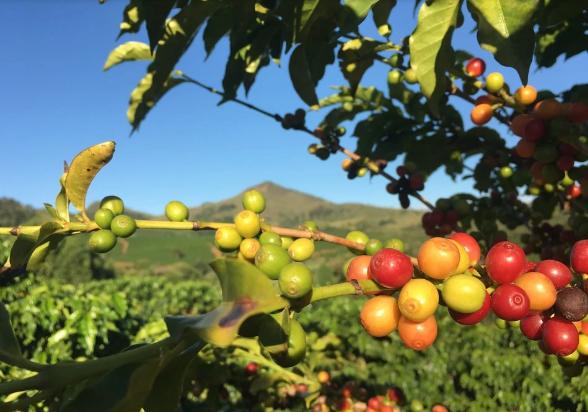café planta