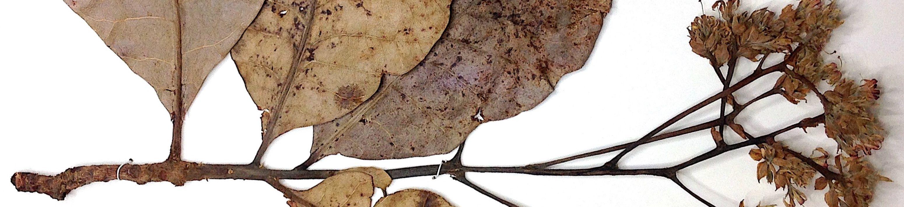 Anacardium occidentale L. Fotografia: Edson Ferreira Duarte