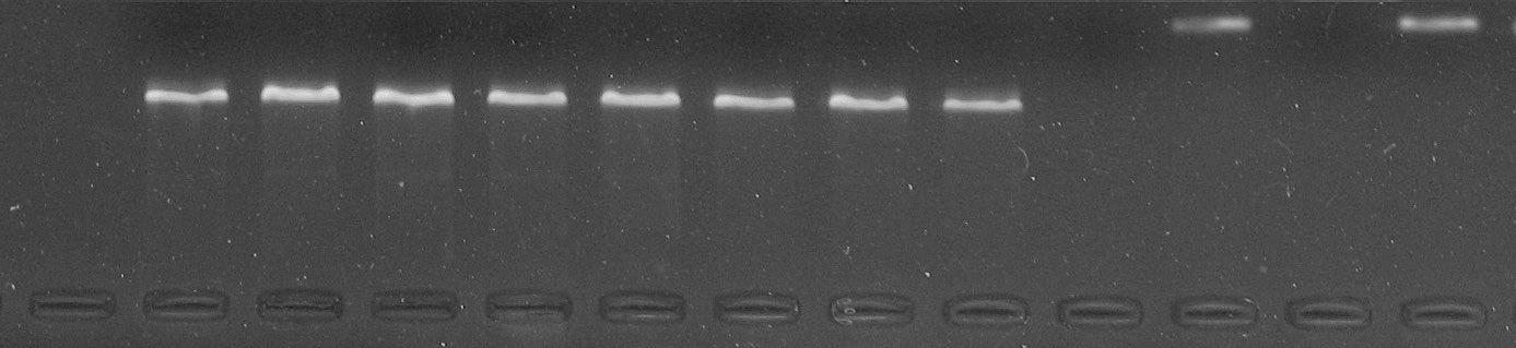 GEL-PCR - Regiao ITS DNA nuclear - Chamaecrista orbiculata (Benth.) H.S. Irwin & Barneby. Fotografia: Alessandro Oliveira de Souza
